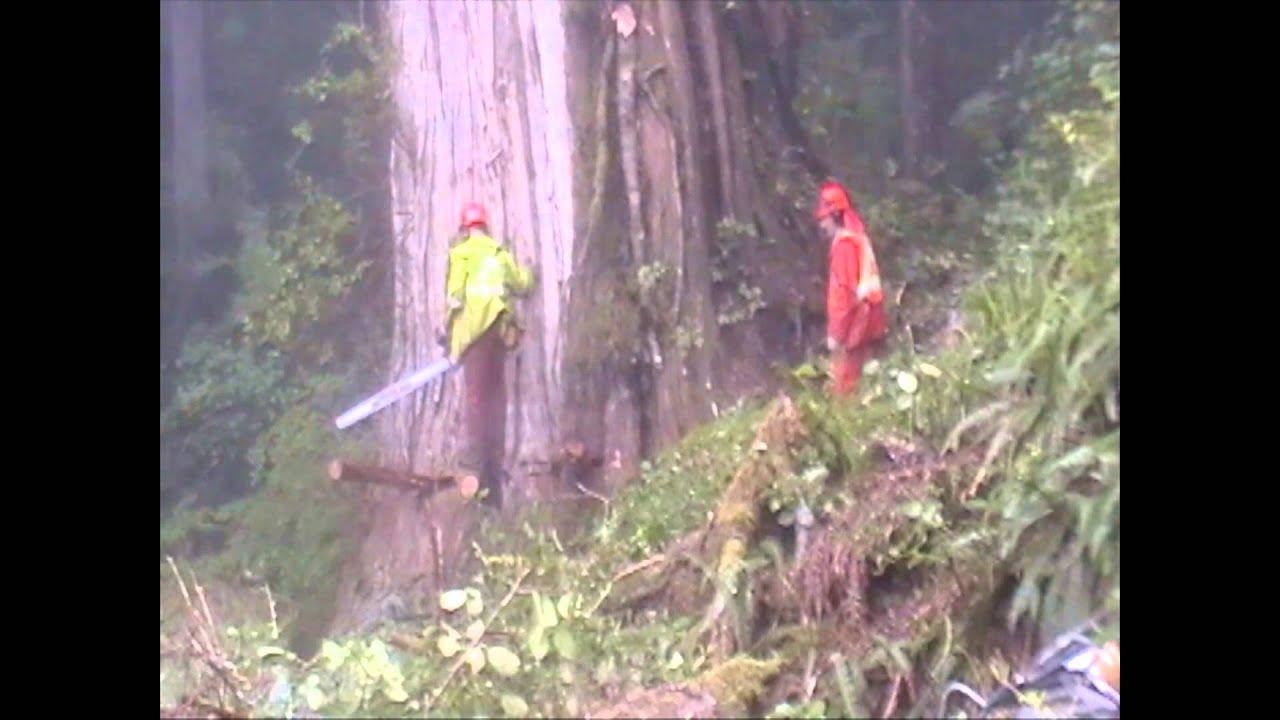 Image result for falling west coast cedar