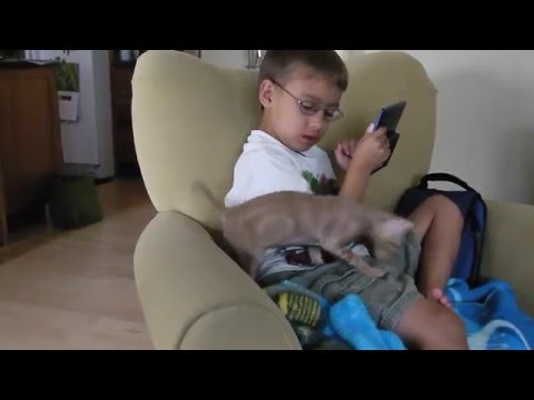 Funny Cornish Rex Kitten