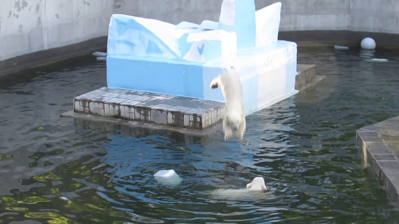 У медвежат прыжки в воду и плавание 19.06.2019