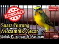 Suara Burung Mozambik Gacor  Mp3 - Mp4 Download