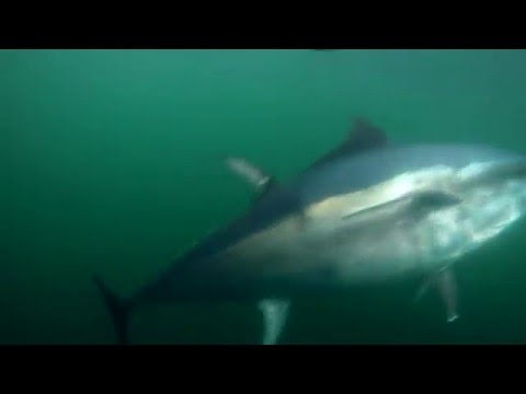 """SHARK"" underwater image in Canada 수중영상"