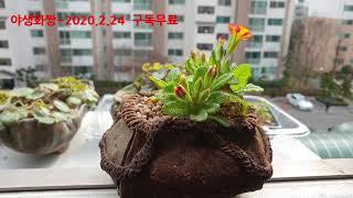 제시카앵초 키워보세요~/베란다정원야생화키우기/봄꽃/야생…