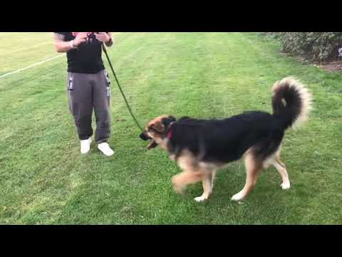 HAKAN SESSION 2: dog reactive GSD