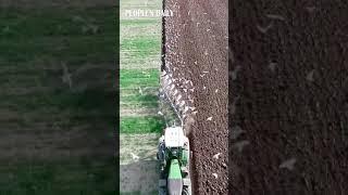 Extraordinary scene when flocks of birds follow chisel plows in the field.