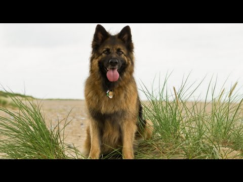 10 Dogs Like German Shepherd