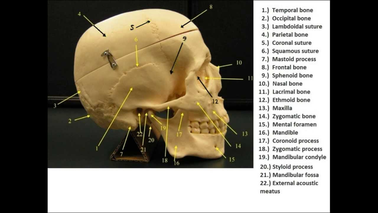 Bone Flash Cards -- Anatomy and Physiology - YouTube