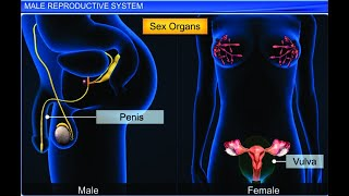 CBSE Class 12 Biology, Human Reproduction – 1, Male Reproductive System