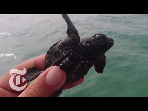 Tagging Tiny Turtles | ScienceTake | The New York Times