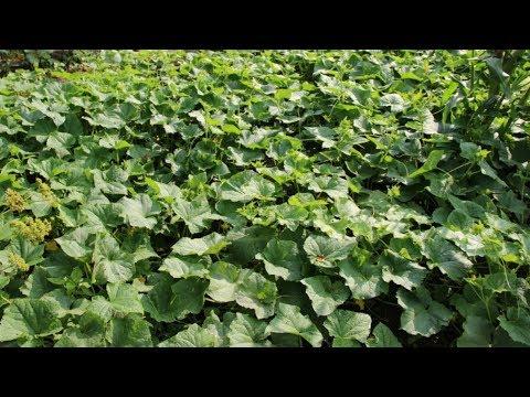 Урожайные Сорта Огурцов В Украине