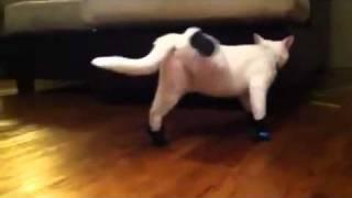 给猫咪穿上鞋子 结果忘了怎么走路了 thumbnail