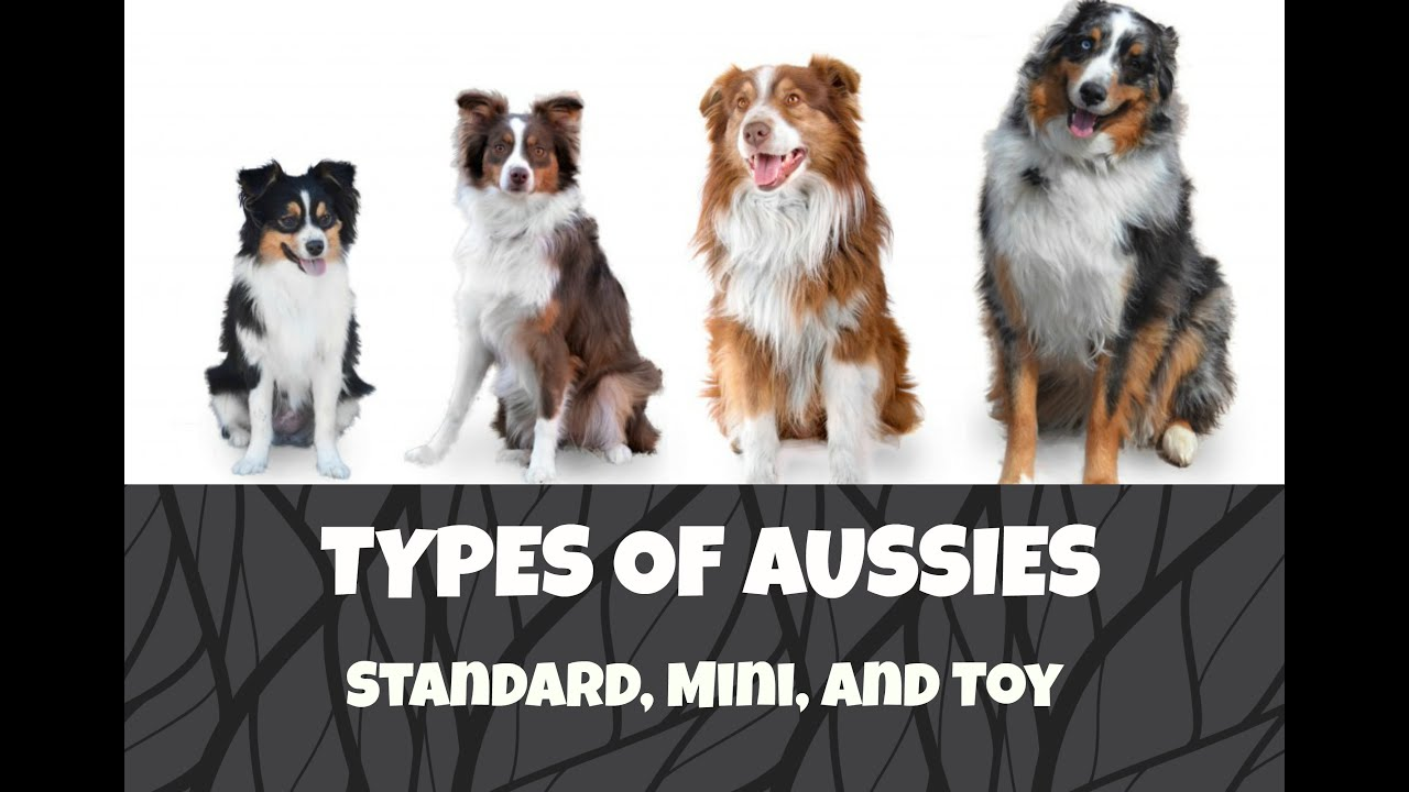 Differences between standard mini and toy australian shepherds differences between standard mini and toy australian shepherds life with aspen geenschuldenfo Image collections