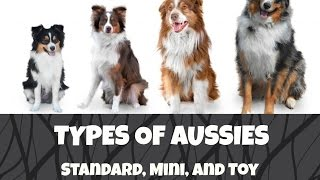 Differences between Standard, Mini and Toy Australian Shepherds |Life With Aspen|
