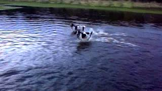 Springer Spaniel On Flooded Thistle Golf Course Leven Fife Scotland