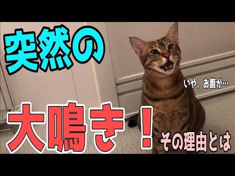 【大鳴き】必死に飼い主に何かを訴えようとする猫!!