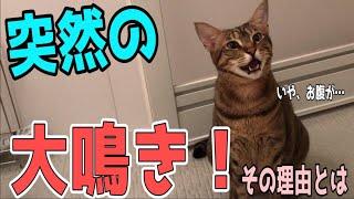 【大鳴き】必死に飼い主に何かを訴えようとする猫!! thumbnail