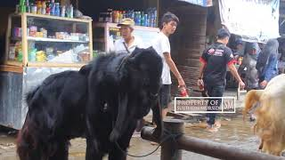 Download Video Kambing Otawa Harga 5 Juta Rupiah [ Pasar Hewan Ambarawa Semarang ] MP3 3GP MP4