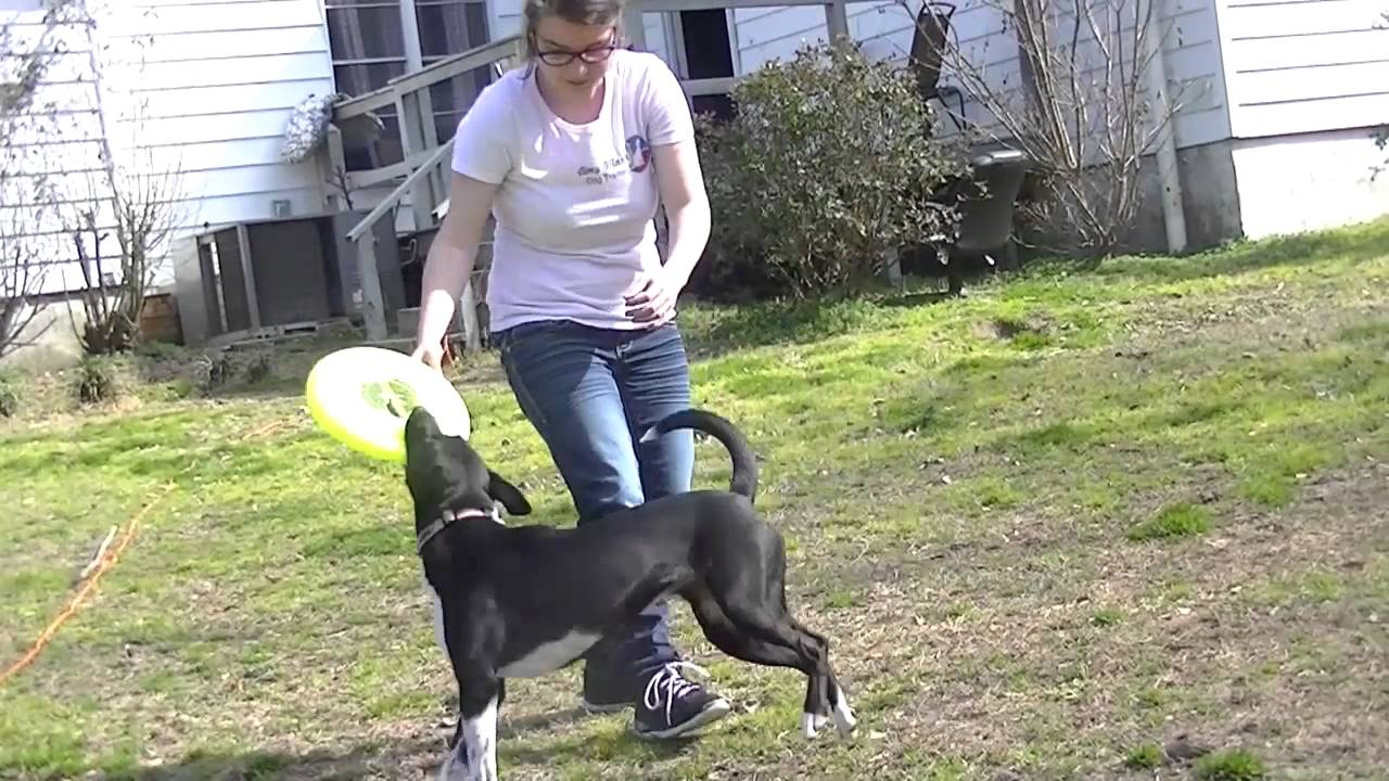 How To: Train Your Dog To Catch A Frisbee In 6 Steps With Lola The Border  Staffy!