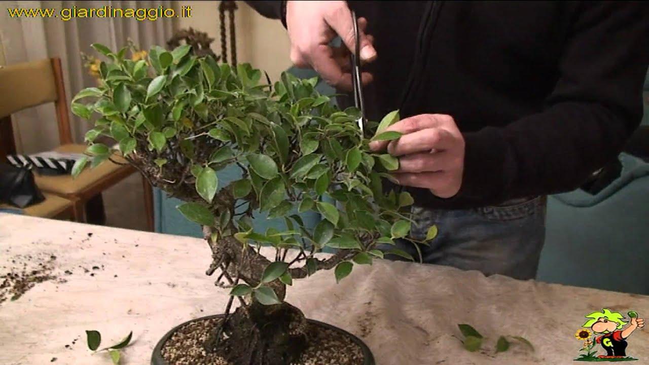 Quando Potare Il Bouganville come tagliare le foglie di begonia metallica? 🌿 tutto su