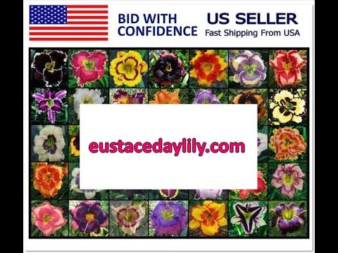 Labor Day Daylily Flower Seed Auctions Ending Today on Lily Auction Bid Now 2018