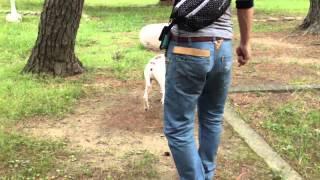 イングリッシュポインターのメグです。お散歩中の一コマ.