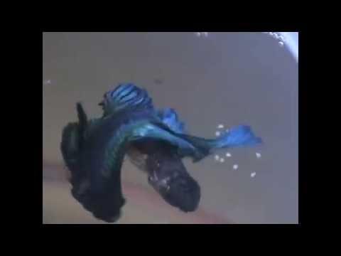 Blue Halfmoon Betta Mating