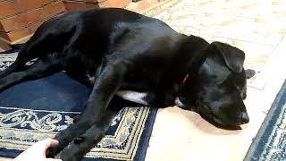 Собака храпит и вздрагивает во сне | Dog snoring