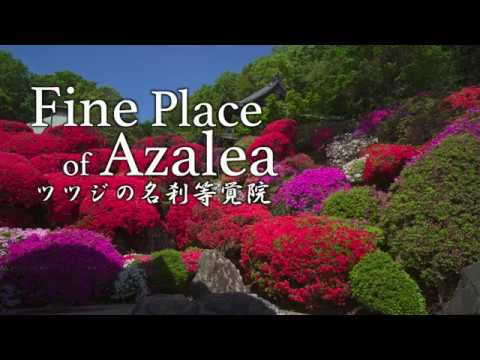 fine-place-of-azalea-ツツジの名刹-等覚院-神木山長徳寺