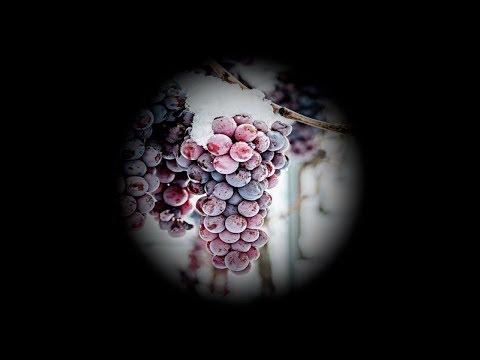 Виноград на Северо-Западе. Как правильно укрывать на зиму.
