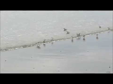 Dance of the plovers
