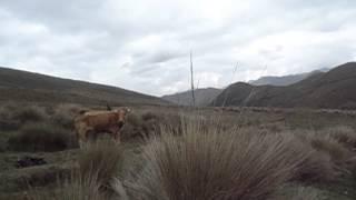 vaca pa