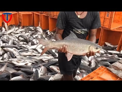 Wow !! Amazing Fish Rain like / Lived Catla Fish Catching | Huge Fish Fishing Harvest in india