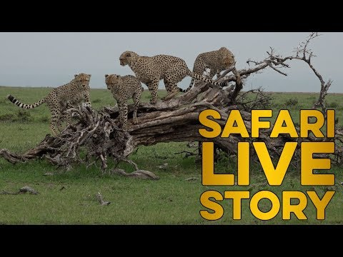 safariLIVE celebrates International Cheetah Day 2018