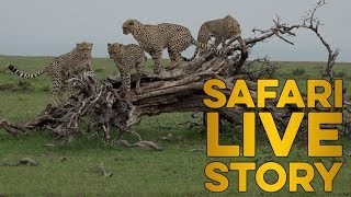 safariLIVE celebrates International Cheetah Day 2018