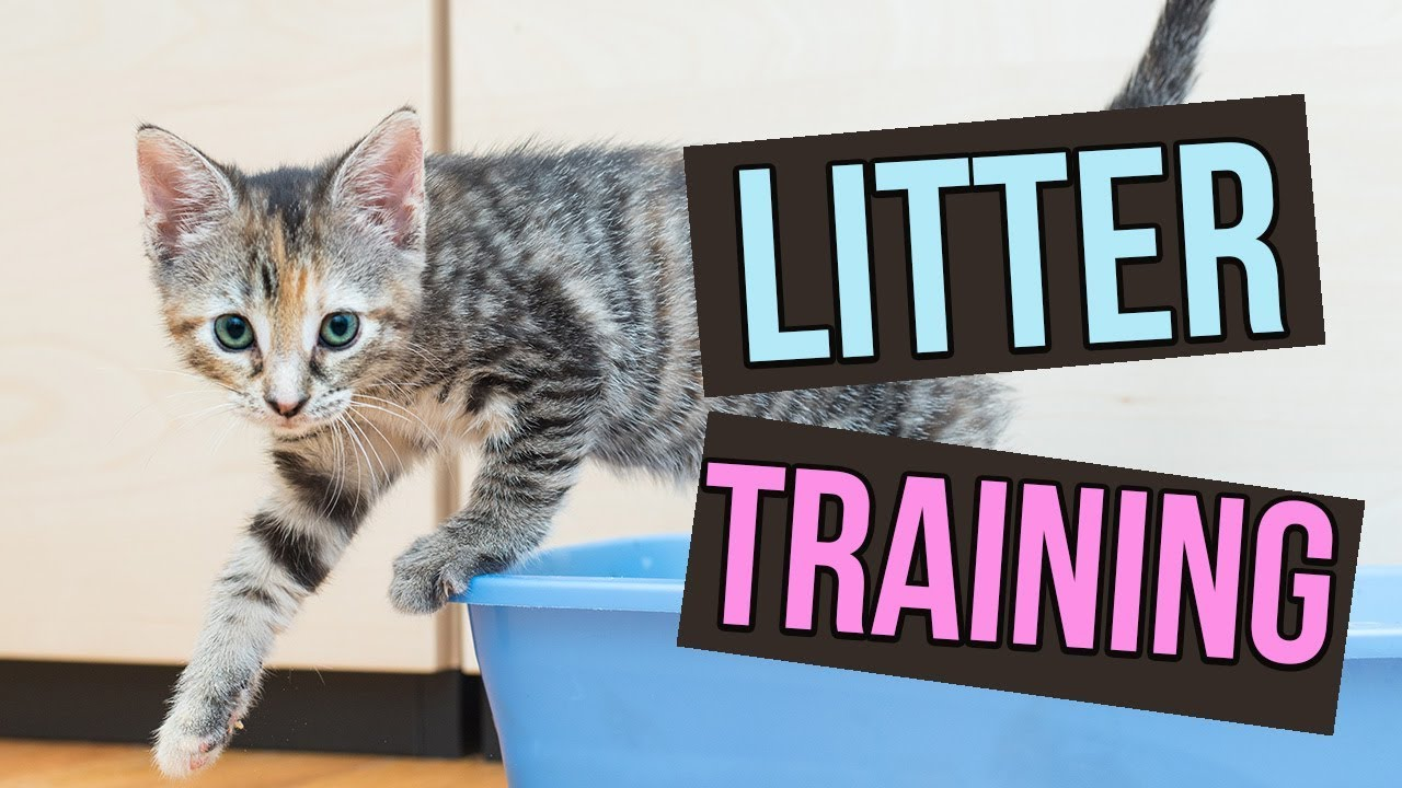 How To Litter Train Baby Kittens Youtube