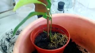 Лимон - пересадка черенка с корнями