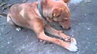 Собачка, как майло из фильма Маска, юмор.mp4