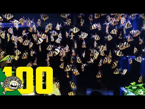 ADDING 100 MORE TIGER BARBS TO THE 800 GALLON TROPICAL AQUARIUM