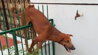 Rescue poor dog has stuck in a fencing, hanging in air with a sharp faced rod crossing his stomach
