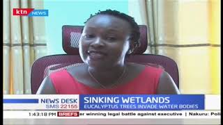 Kisii Wetlands at risk as Eucalyptus trees invade water bodies