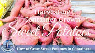 HD How to Grow Sweet Potatoes in Containers (Part 3 of 3) - The Harvest