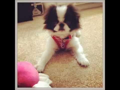 Japanese Chin puppy's first day at home