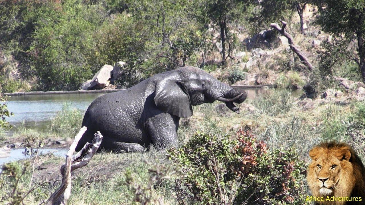 Elefanten Hoden
