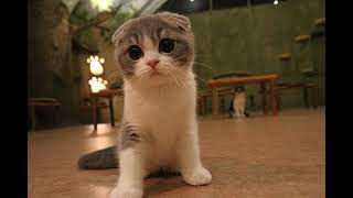 Scottish Fold   Breed and Health Issues