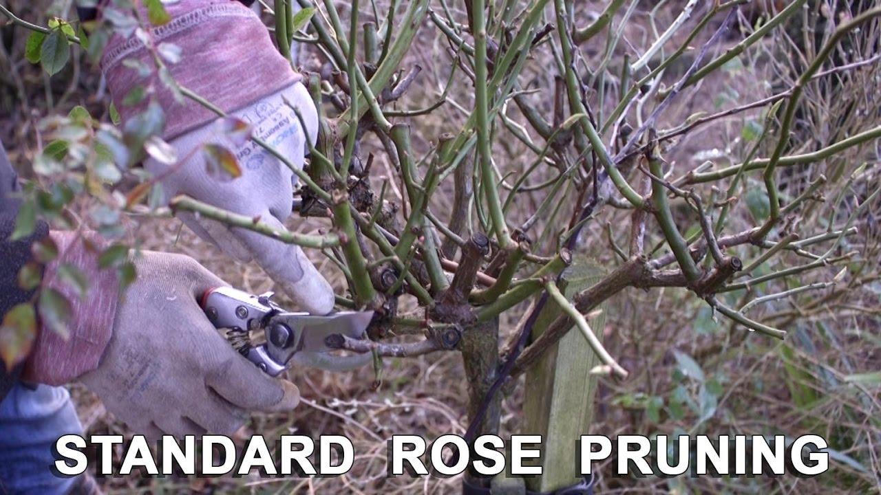 How to trim a rose bush - Get Gardening Standard Practice Pruning Standard Roses