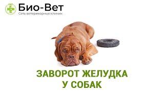 Заворот желудка у собак. Ветеринарная клиника Био-Вет.