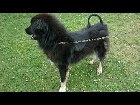 Female Bakarwal Dog | 16 Months Old Bakarwal Dog | Tibetan Mastiff Dog | Female Tibetan Mastiff