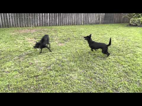 Australian Kelpies at Play - 2 years old HD