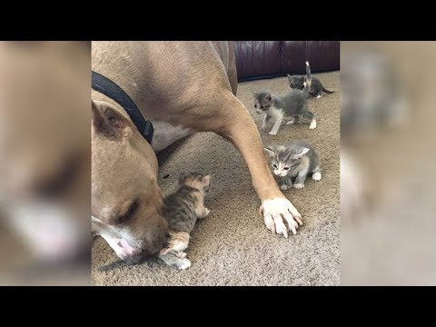 Pregnant Pit Bull Loses Her Puppies Before Adopting A Tiny Orphaned Baby As Her Own