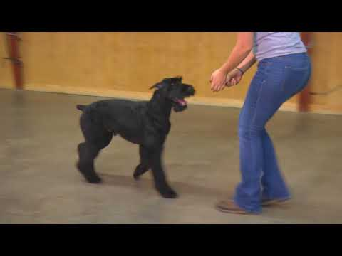 "Giant Schnauzer Happy Dog ""Yazu"" 18 Mo's Obedience Trained Home Raised Naturally Protective"