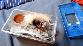 видео chilobrachys fimbriatus